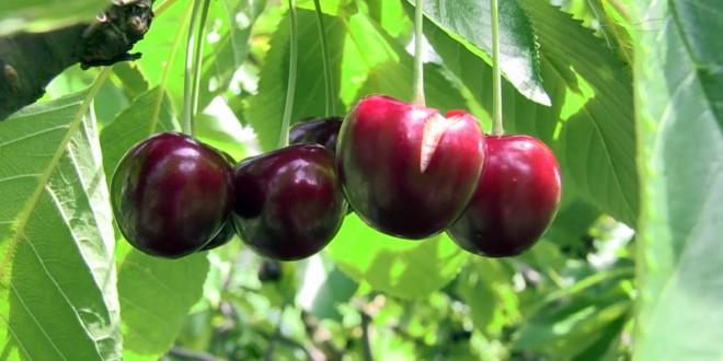 Kirschen aus Unteröwisheim am Baum