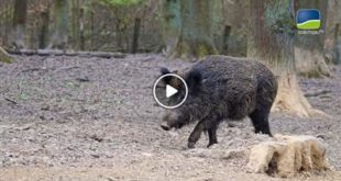 Region | Sauerei! – Wildschweinproblem in der Region