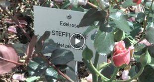 Oberderdingen | Oberderdingen blüht auf – ein Bett aus Rosen