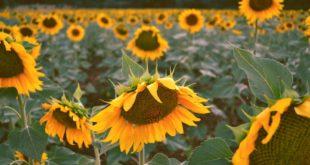 Sonnenblumenfeld-Acker-Landwirtschaft-nspl