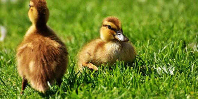 chicks-2426644_1920