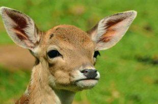 roe-deer-1586373_1920