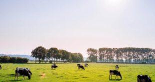 Kühe Natur Weide Grad