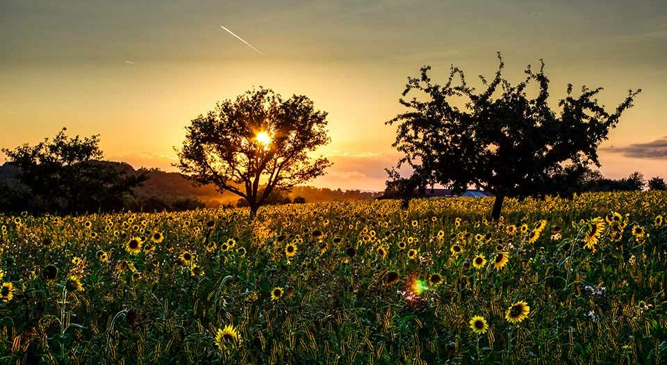 Sonnenblumenfeld bei Heidelsheim