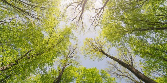 Baumwipfel-Wald