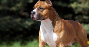 Symbolbild-Kampfhund-American-Staffordshire-Terrier