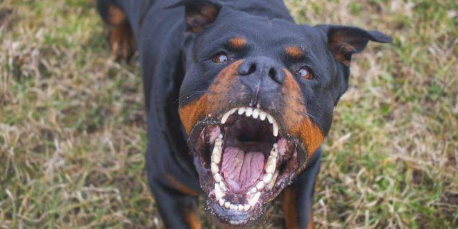Rottweiler, Hund