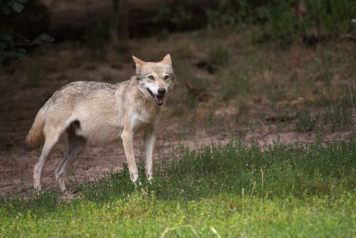 Wolf Naturpark Stromberg-Heuchelberg