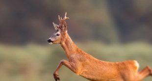 Springender Rehbock Jagd Wild