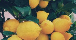 Zitrone Obstbaum Zitronenbaum Zitrus