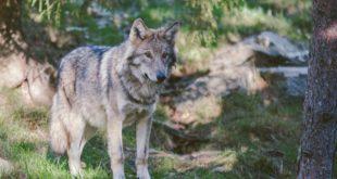 Natur Tiere Wolf