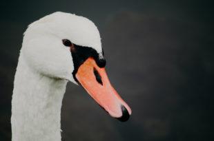 Schwan Vogel Tier