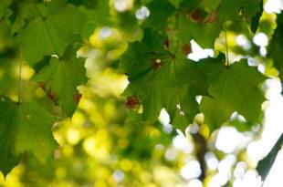Baum Ahorn Natur grün Bäume
