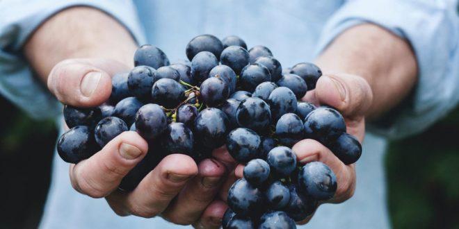 Wein Traube Obst Weinlese