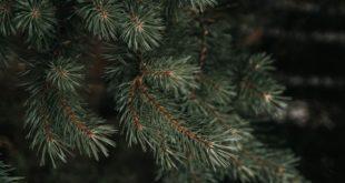 Tanne Baum Christbaum